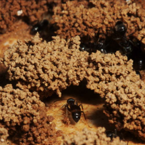 building behaviour of ants